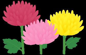 キク(菊)の花
