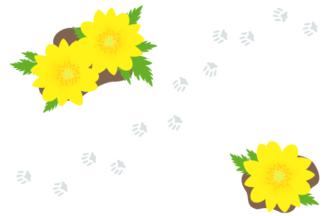 フクジュソウ(福寿草)と雪