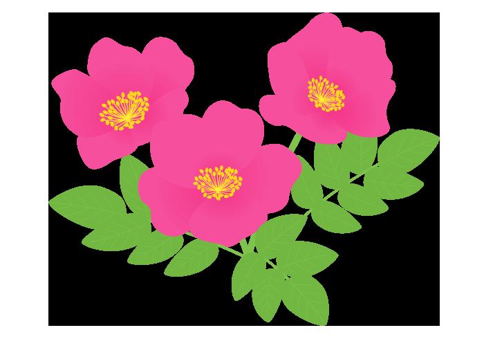 ハマナス(浜茄子)