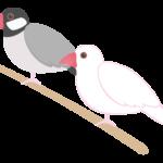ブンチョウ(文鳥)