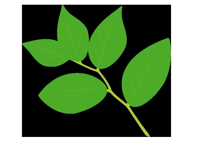 葉っぱ(レモンリーフ)