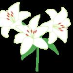 ユリ(カサブランカ)